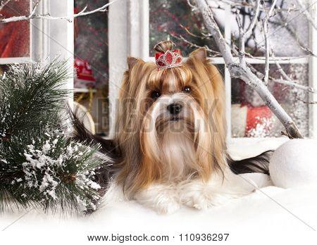 christmas dog, Biewer Terrier