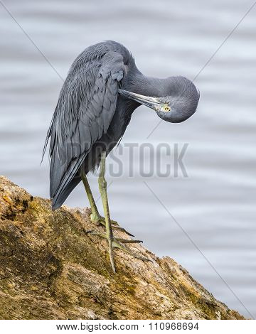 Little Blue Heron Preening Its Feathers - Florida