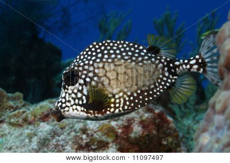 Smooth Trunkfish (Lactophrys triqueter) ona coral reef in Cozumel, Mexico poster