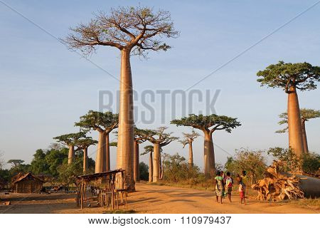 Alley of Baobabs, Madagascar
