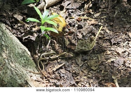 Male and female lizards reproduce. Seychelles.