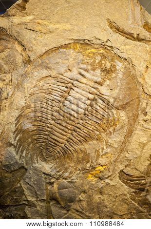 Fossil Of A Trilobate Crustaceous