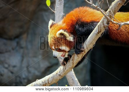 Red panda climbing on tree