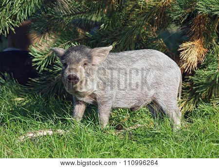 The young pigling of Hungarian breed Mangalitsa is in a natural environment poster