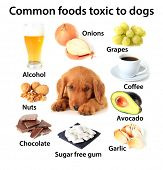 Chart of toxic foods for dogs. Also available without text. poster
