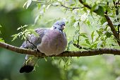 A fat wood pigeon perched on the branch of a leafy tree. Taken in London, 2010. poster
