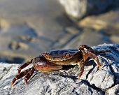 a soft shell crab on a rock at the beach with an out of focus sandy background. poster