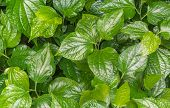 Appropriate eating betel leaf as medicine to anti cancer phlegm sputum flatulence indigestion Distension colic and inhibit delay poster