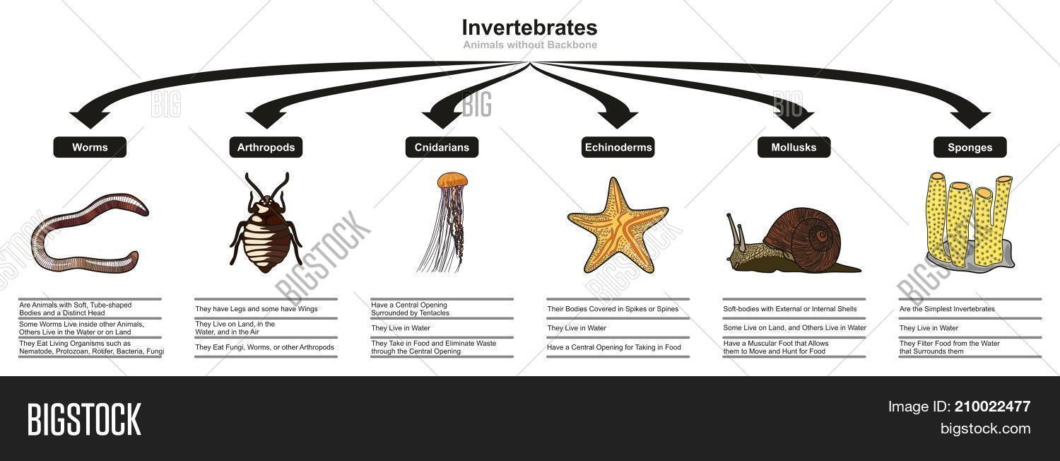 invertebrates animals classification and characteristics infographic diagram  showing all types including worm arthropod cnidarian echinoderm mollusk