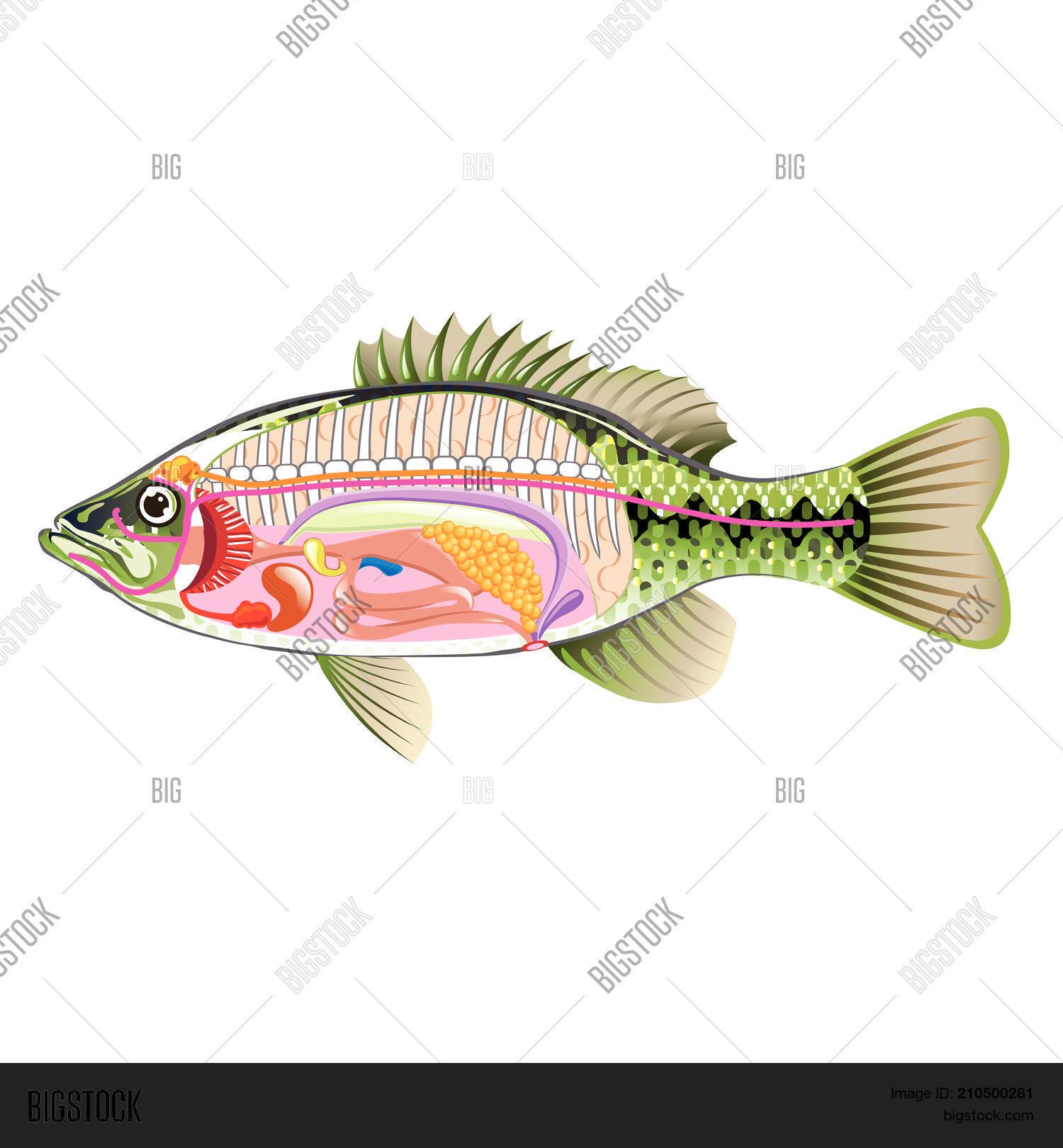 Anatomy Bass Vector Vector & Photo (Free Trial) | Bigstock