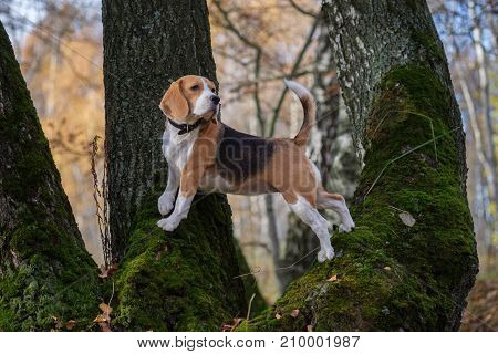 Beagle dog climbed up and stands on the tree in autumn forest