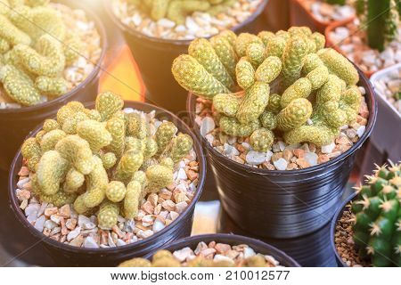 Cactus or succulents in plastic pot at tree market for decoration and landscape idea concept design.