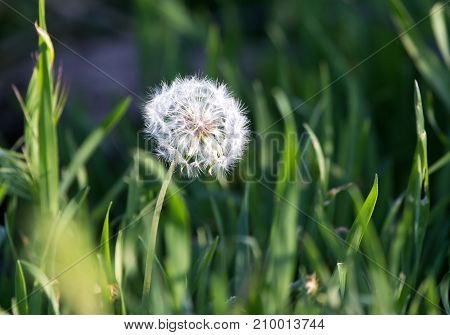 Bud dandelion on nature . In the park in nature