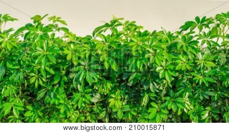 Blurred bush green bush, shrub external background texture in its natural form.