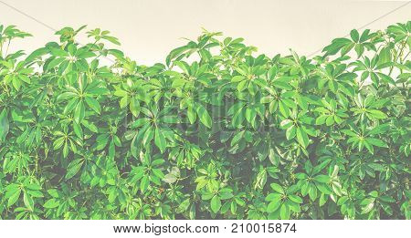 Shrubbery, Green hedges, Shrubbery texture background, exterior in natural style