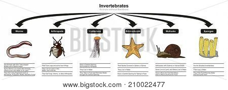 Invertebrates Animals Classification and Characteristics infographic diagram showing all types including worm arthropod cnidarian echinoderm mollusk sponge for biology and morphology science education