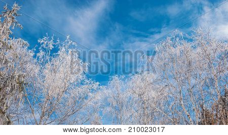 The branches of the trees are covered with hoarfrost on the background of a bright blue sky
