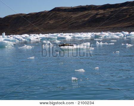 Seal On Iceberg