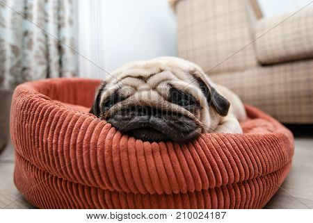 Very tired pug on the lounger. Looking pug muzzle.