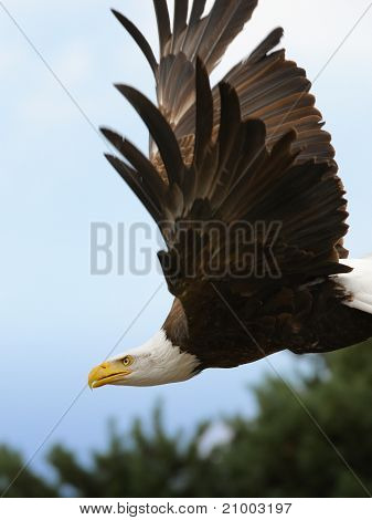 The Flight Of An American Bald Eagle