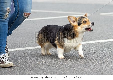Welsh Corgi - a hunting breed of dogs. 2018 year of the dog in the eastern calendar. Concept: cute, home, friend, love, affection, kindness, care