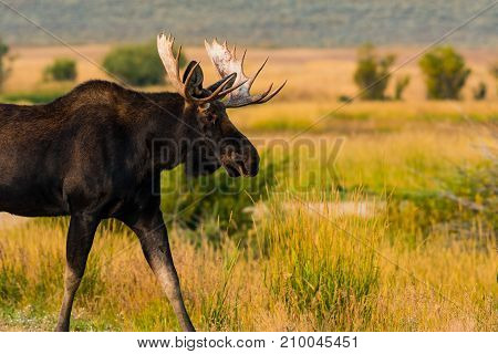 A Large Bull Moose Taking a Fall Stroll in Colorado