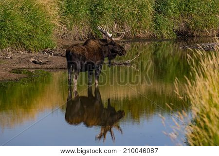 A Large Bull Moose Standing in a Stagnant River
