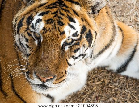 A Siberian Tiger's Extremely Intimidating Stare and Intense Eyes