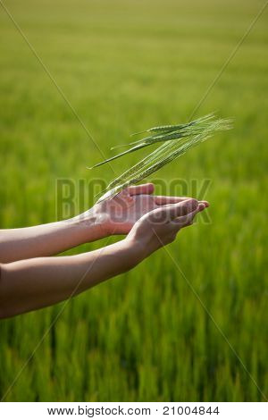 Symbolic gesture suggesting fertility, plenitude, health. Woman hands throwing unripe barley ears into the air in a lovely barley field lit by summer sunshine