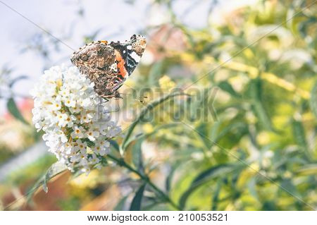 Vanessa atalanta, red admiral butterfly on flower close up photo