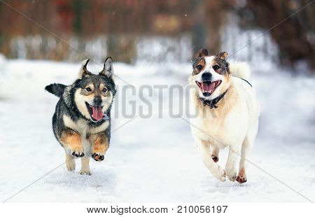 two funny dogs fun run in the freezing snow in the winter his tongue hanging out
