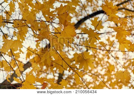 Yellow Maple Leaves In The Fall On A Blue Sky Background