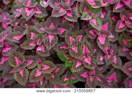 Colorful leaves, Coleus mix or flame nettle