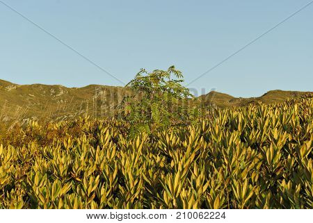 autumn day in the Caucasian mountains: a thicket of golden rhododendron and a lone rowan in the foreground and a mountain range against the backdrop of a clear sky in the background.
