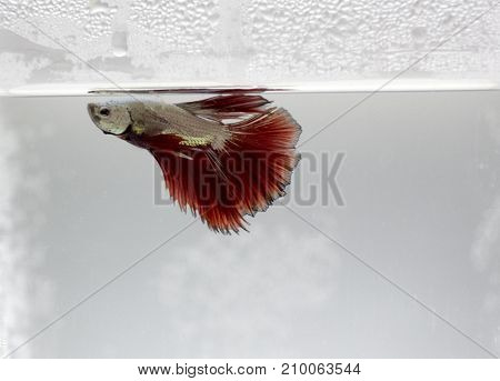 betta splendens close up view in aquarium