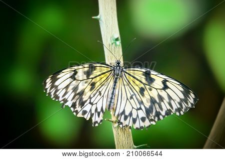 Idea leuconoe butterfly sitting on a branch in garden.