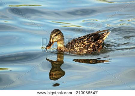 Duck floating in water with reflection on a sunny day