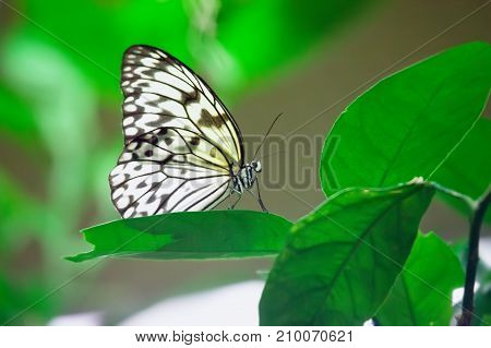 Idea leuconoe butterfly sitting on a leaf in garden