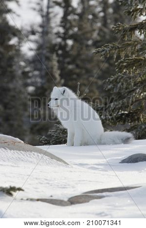 Arctic fox (Vulpes Lagopus) ready for the next hunt while sitting on snow