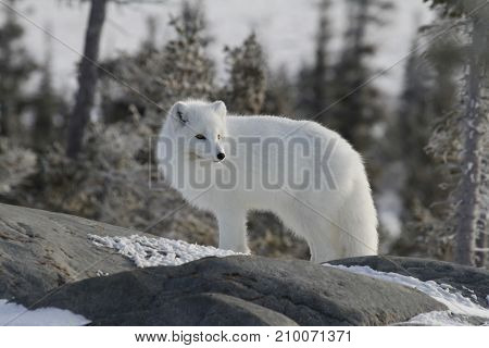 Arctic fox (Vulpes Lagopus) in white winter coat on the Canadian Shield near Churchill, Manitoba