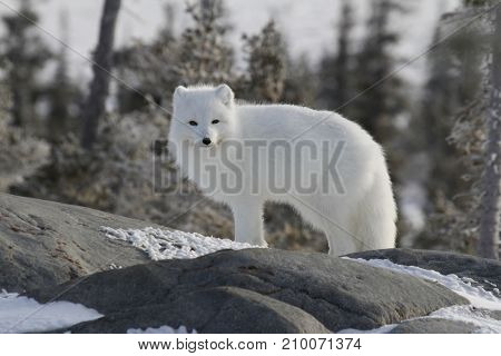 Arctic fox (Vulpes Lagopus) in white winter coat, squinting while standing on a large rock
