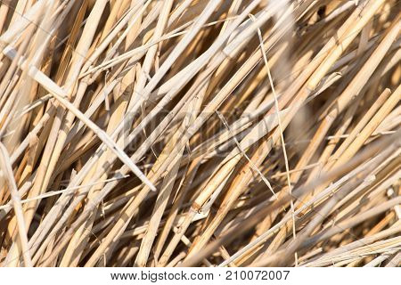 background of yellow reeds in nature . In the park in nature