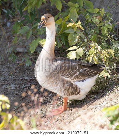 goose in the park outdoors . In the park in nature