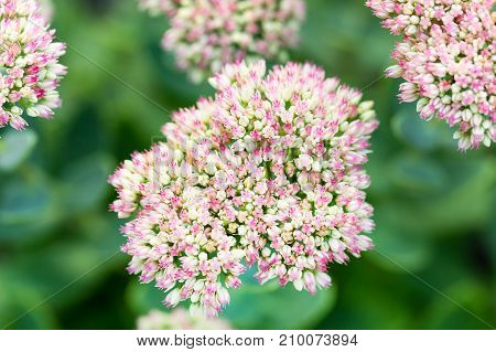 Beautiful Decorative Garden Sedum Flowers Or Stonecrop ( Lat. Sedum Spectabile)  Blossoming At Autum