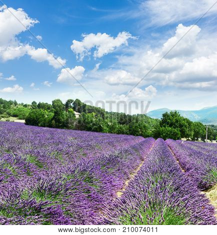 Lavender blomming flowers field with summer blue sky and clouds, France