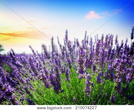 Lavender growing bush with flowers close up in summer field at sunset, France