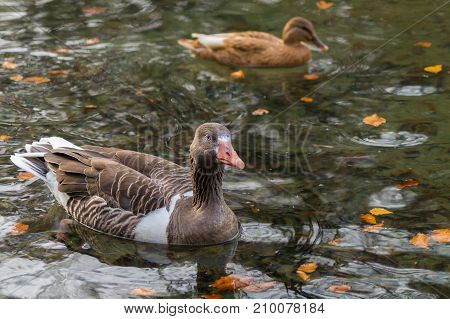 Close-up of a swimming Greylag Goose in Autumn. View on a Greylag Goose and a Duck at the Lake. Animals in the Wild. Wildlife and Nature Background.