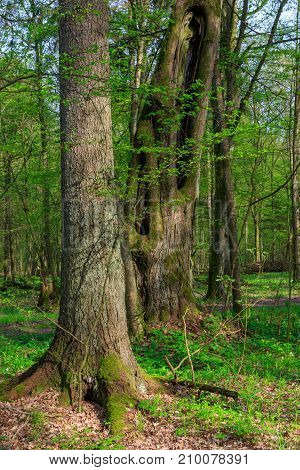 Monumental linden and spruce trees of deciduous stand in morning,Bialowieza Forest,Poland,Europe