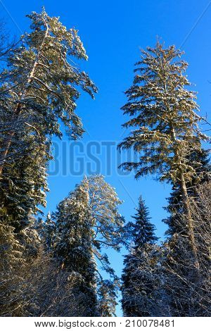 Old pine trees snow wrapped against deep blue sky in winter, Bialowieza Forest,Poland, Europe
