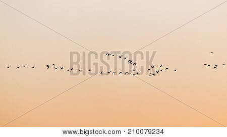 a flock of birds at sunset . In the park in nature